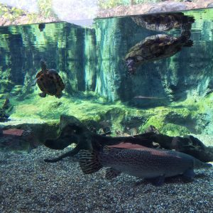 Turtles + Alligator Gars